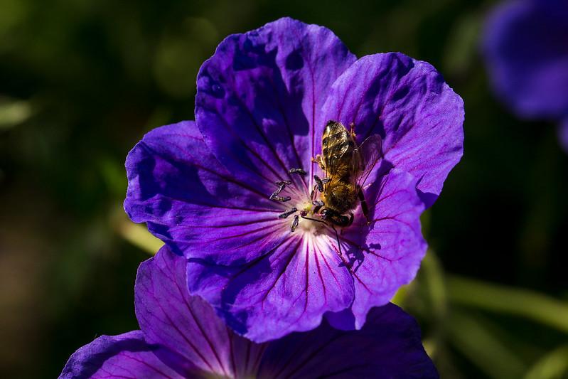 Honey Bee on my geraniums