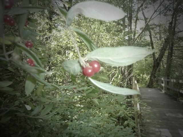 Berries by a bridge