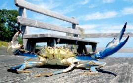 Photo of blue crab taken by Katie Macdonald