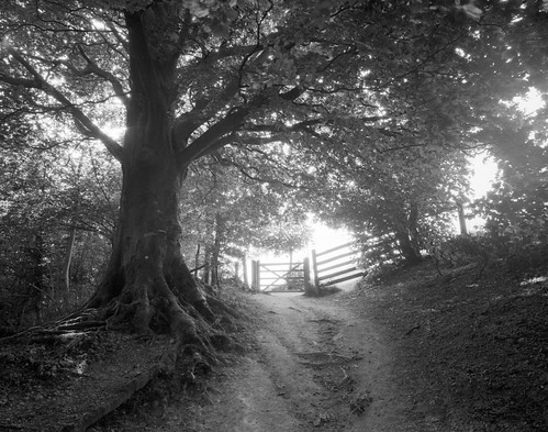 Gate and Beech, Wolstonbury HIll by tubb