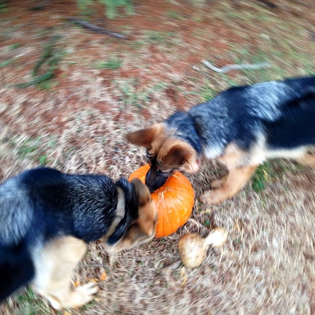 Pumpkin is good for dogs, right? #mischief #doglife
