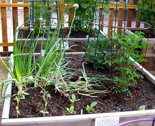onions, tomatoes, sunflowers, borage