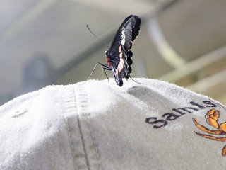 Butterfly on my hat