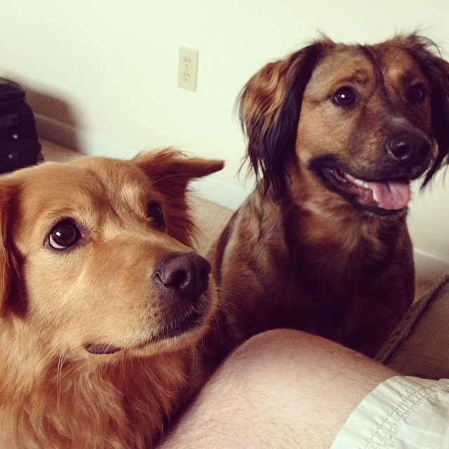 My brother's dogs, gazing up at him adoringly.