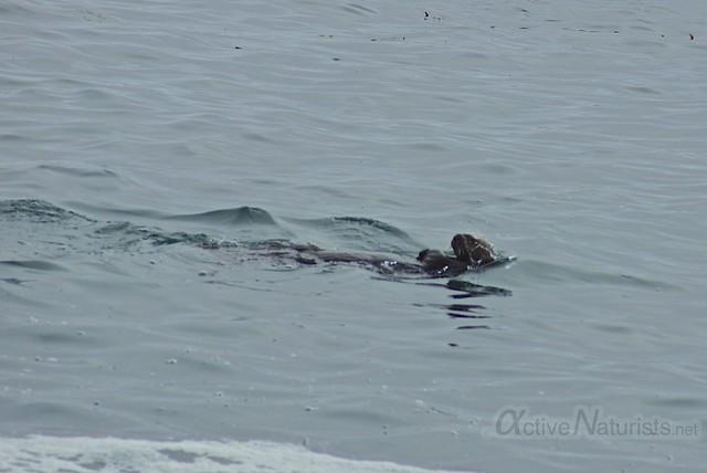 sea otter 0001 4 Mile Beach, CA, USA