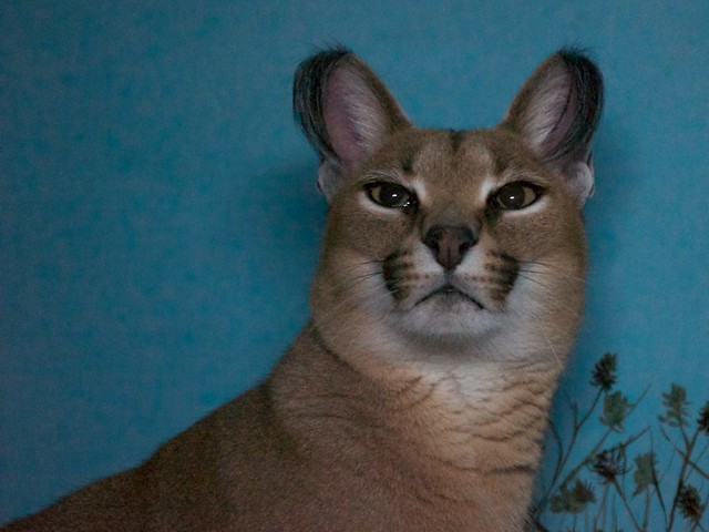 Miss Caracal is Back!