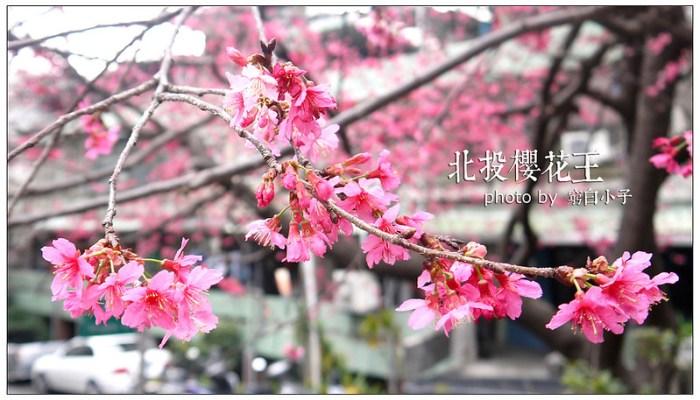 北投櫻花王 04