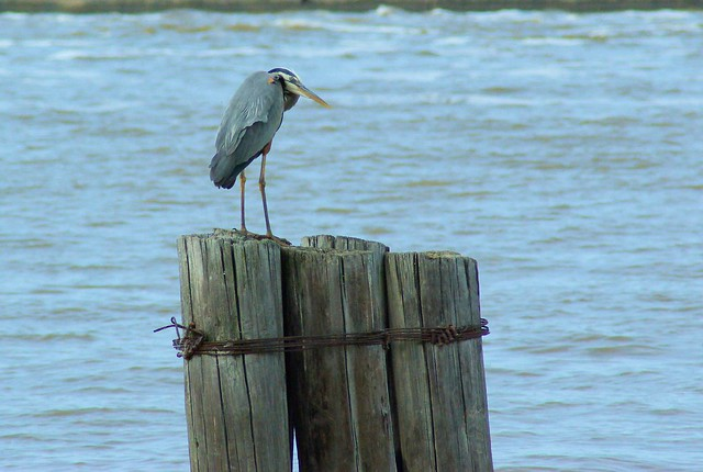 Great Blue Heron, Arkansas River, below Dardanelle Lock & Dam, Arkansas, May 10, 2007
