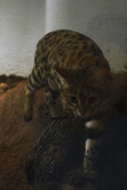 Stalking Black-Footed Cat