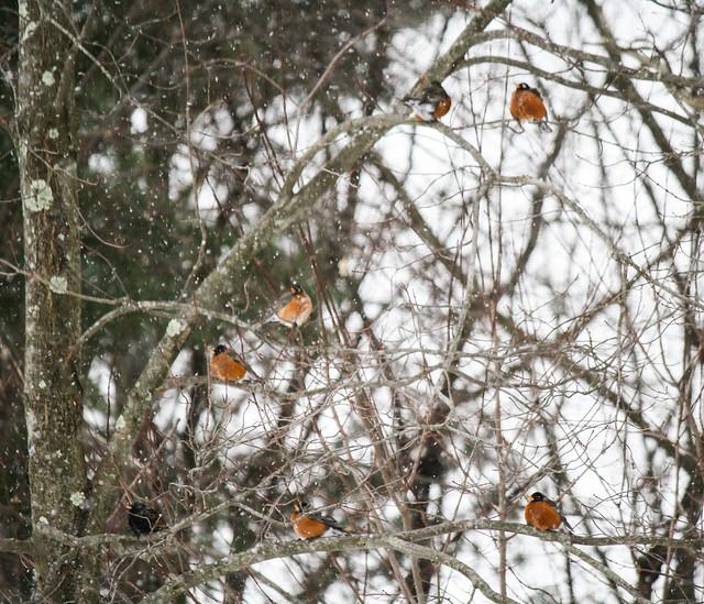 Robins