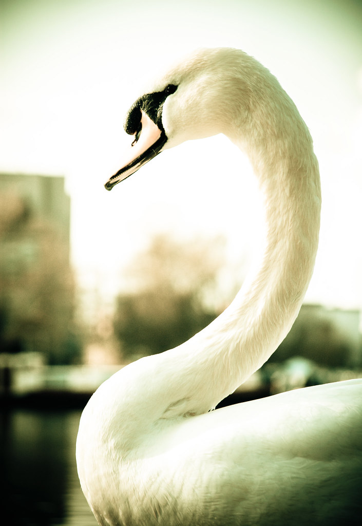 Majestic Swan, by Pixelglo Photography