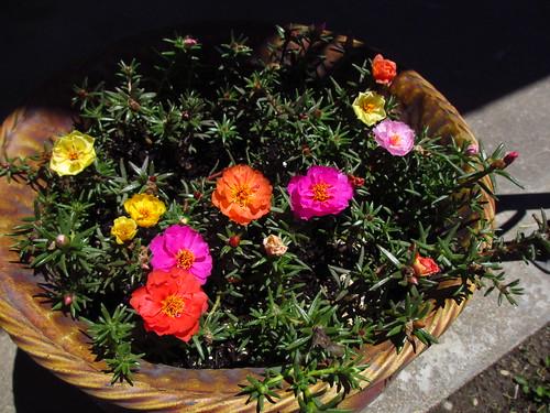 More Rose Moss