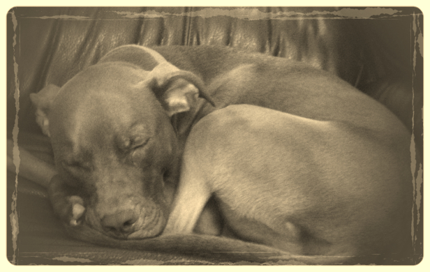 Sadie the Chocolate Lab/Pit Bull mix is curled up on the couch fast asleepm.