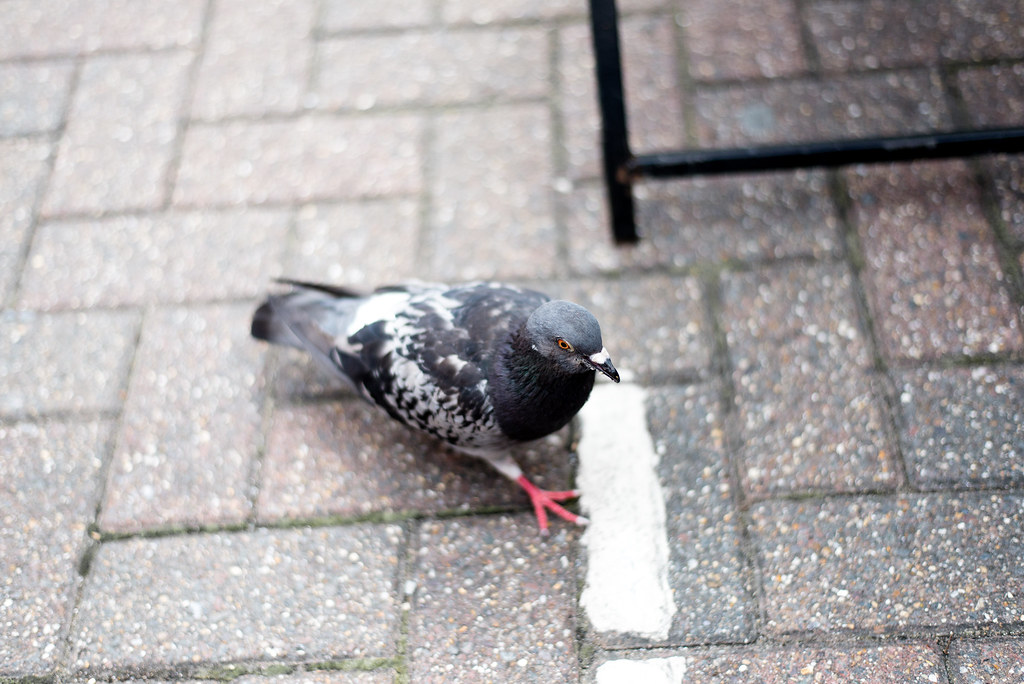 Pigeon on a mission
