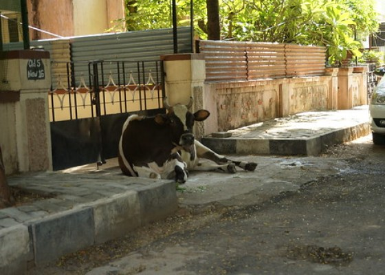 The Cow on My Street