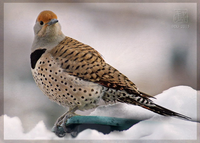 Female Flicker