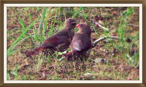 Cardinals in Spring by Rosa Blue