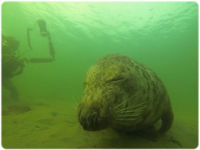 duiken met zeehonden Oesterdam