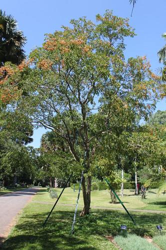 20130116_7381-lignum-vitae-tree