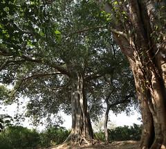 Krishna tree