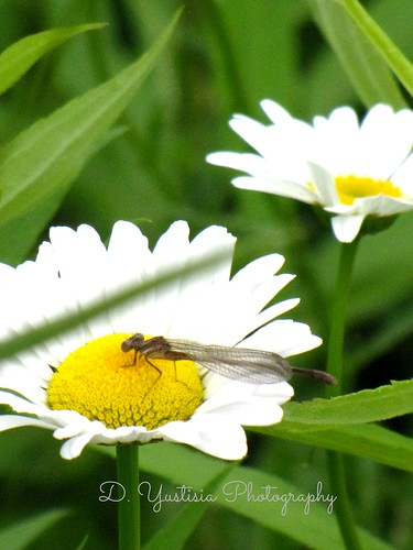 Daisies & the Dragonfly