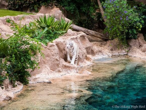 LoroParque-Weißer Tiger
