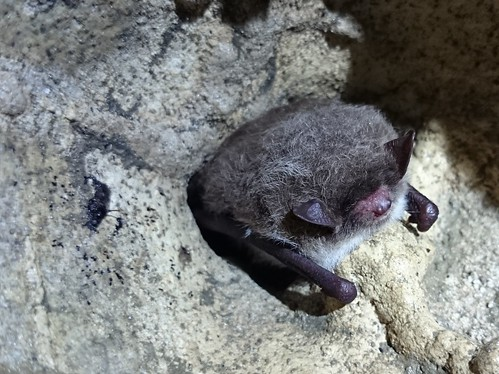 Natterers Bat Andy Keen