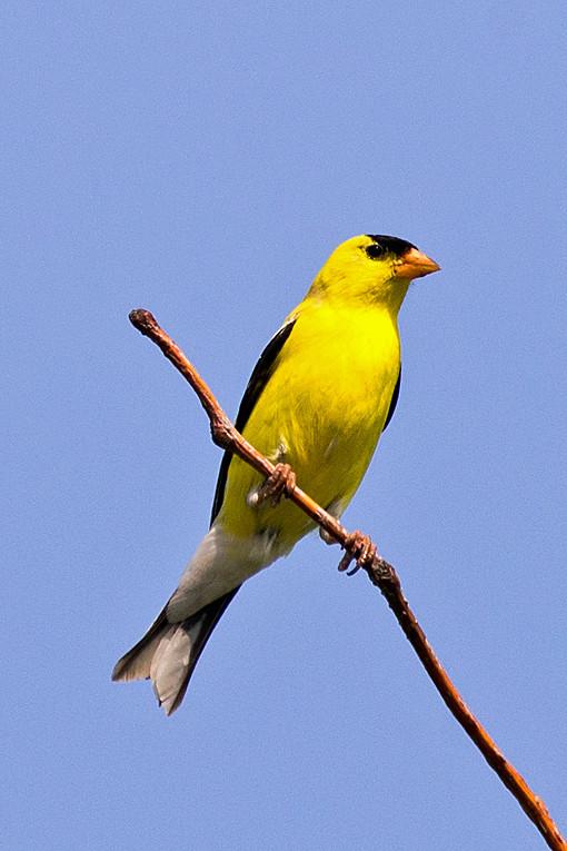 _DSC1144 American Goldfinch
