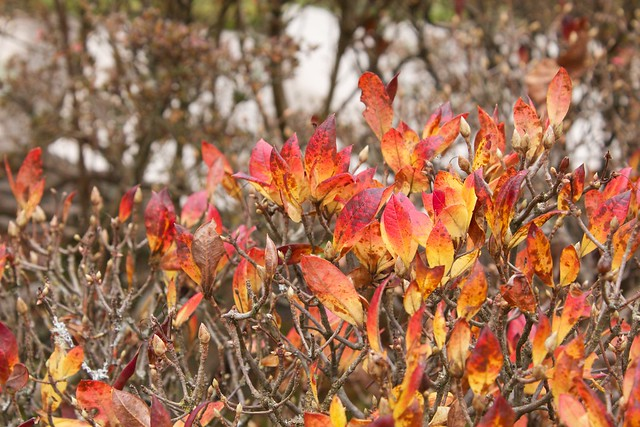 Flaming Red and Orange Leaves