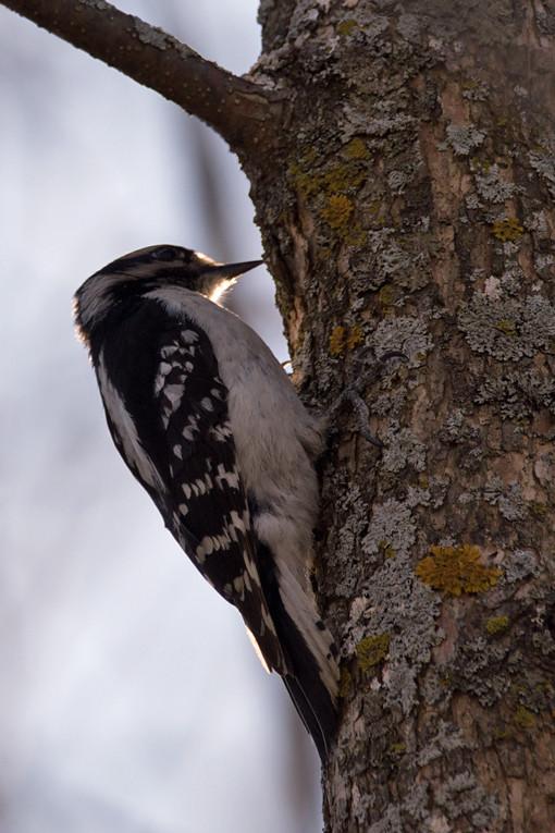 _DSC7833 Downy Woodpecker