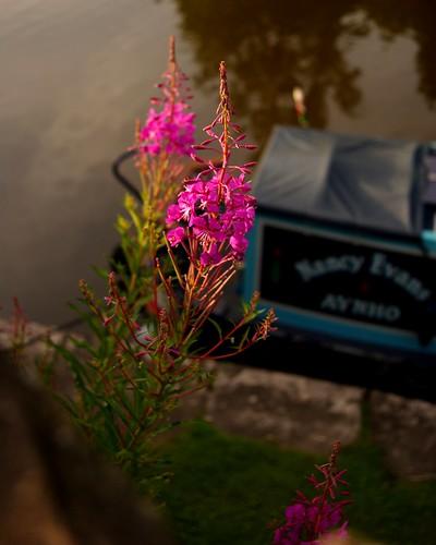 20130807-19_Canal Side Flowers - Bugsworth Basin near Buxworth by gary.hadden