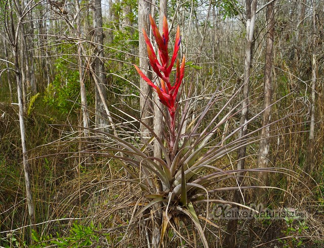 bromelia 0000 Big Cypress Preserve, Florida, USA