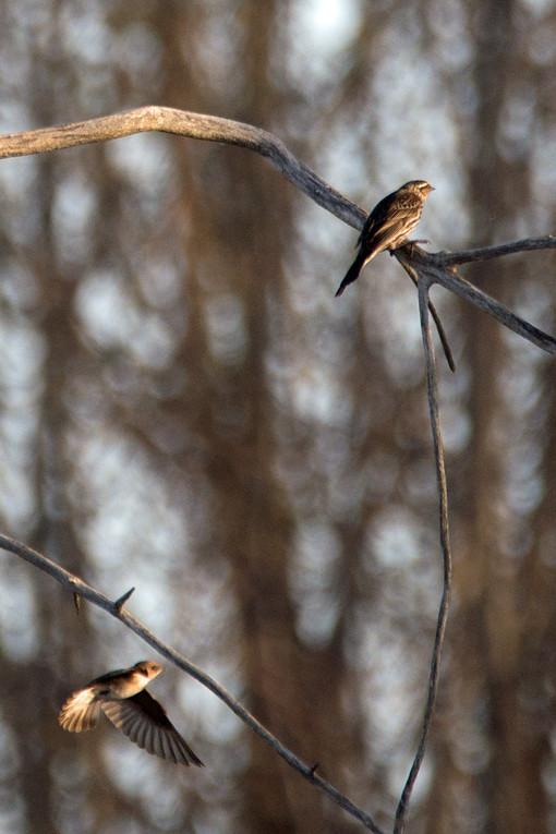 _DSC7950 Rough-winged Swallow