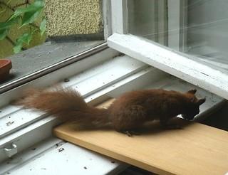 Eichhörnchen zähmen 8