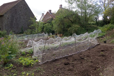 Chickens in the kitchen garden