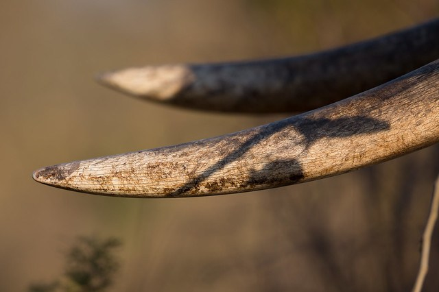 Tusks up close and personal