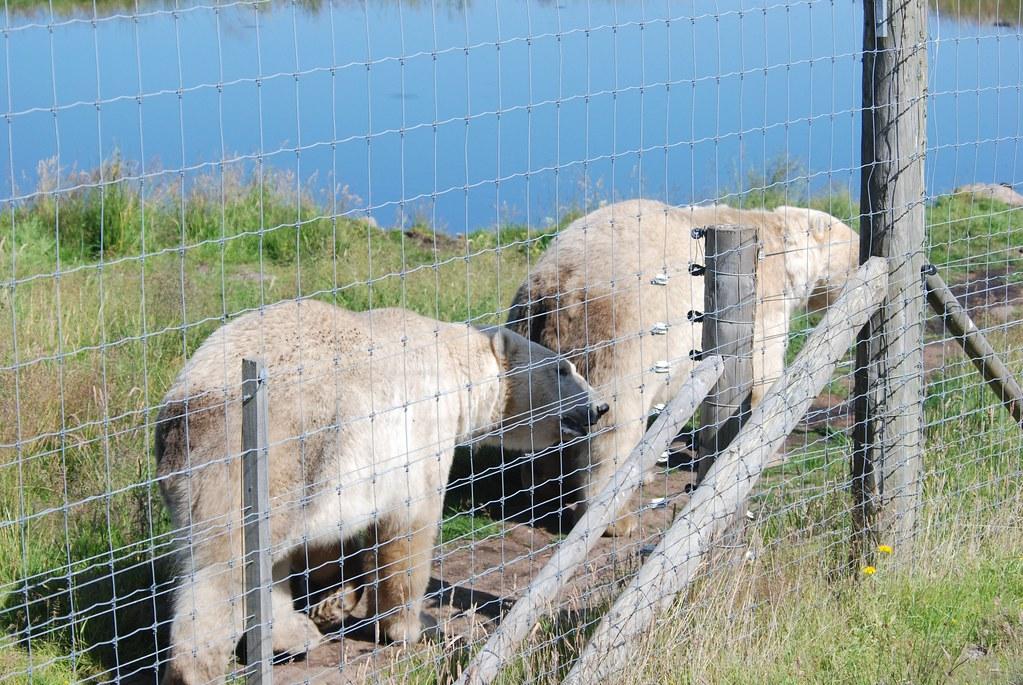 Eisbären Arktos und Walker im Highland Wildlife Park