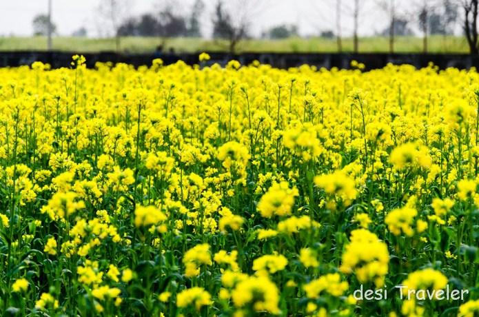 Sarson Ke Khet Punjab DDLJ