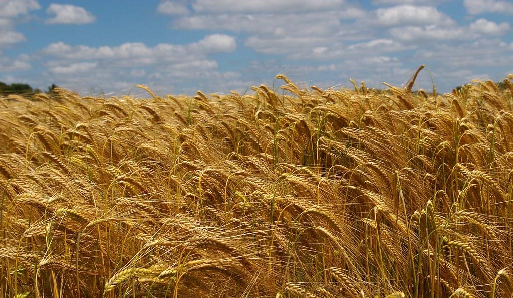 Campo de trigo a punto para la siega. Autor, Sybarite48