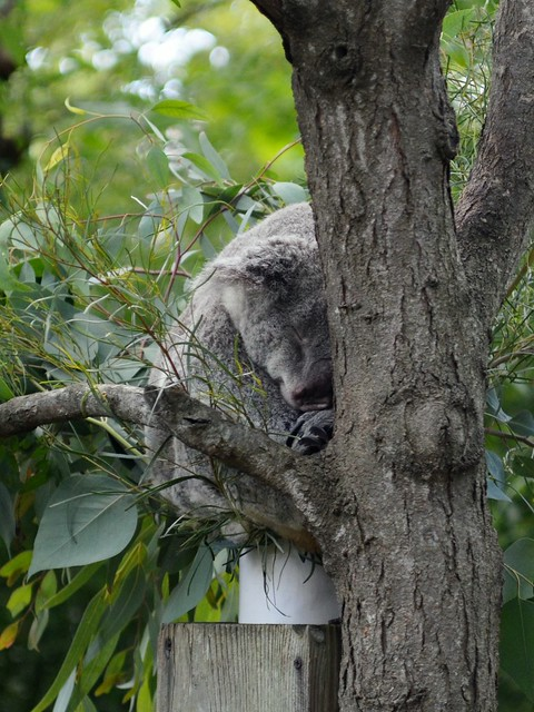 Koala, Doing What Koalas Do Best