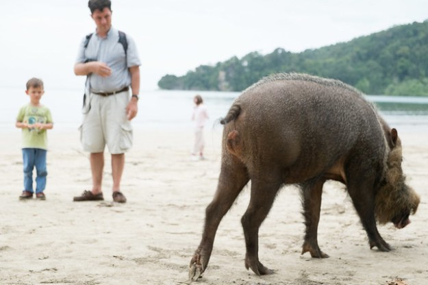 Bearded pig on the beach. Bako National Park