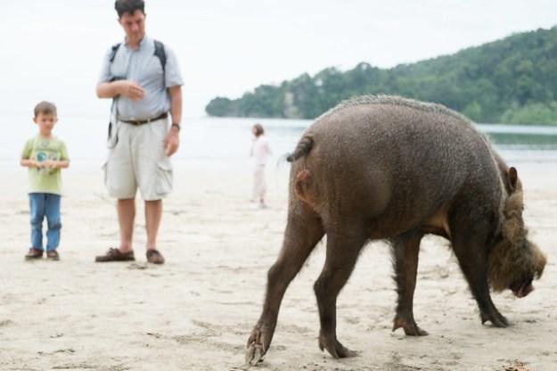 Bearded pig on the beach. Bako National Park