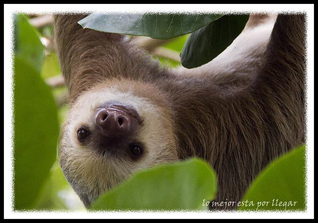 oso perezoso parque nacional cahuita, costa rica