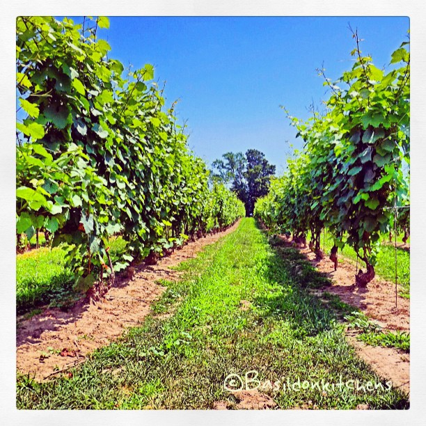 July 29 - perspective {love the tree at the end of the row of vines} #fmsphotoaday #perspective #vines #winery #waupoos #grapes