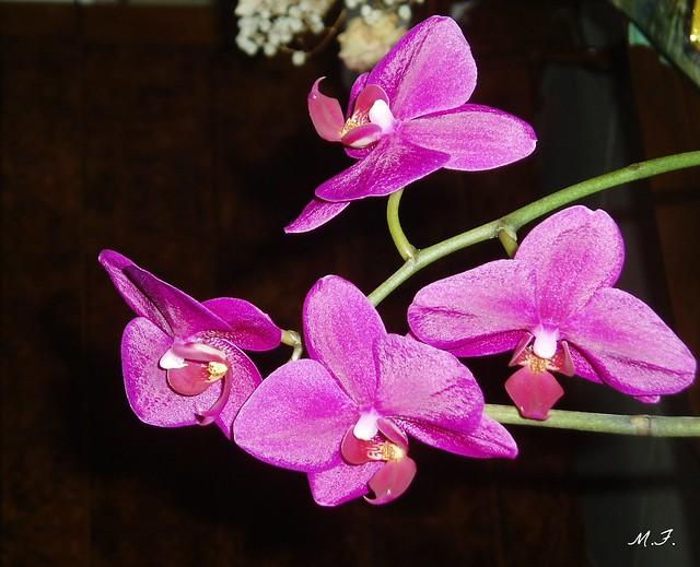 troisième floraison