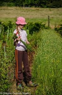 drumstick alium harvest