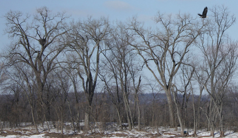 several trees with an eagle nest at the left and a bald eagle flying at the right