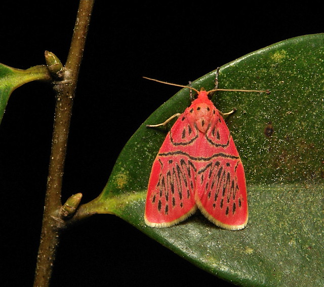 Footman Moth (Miltochrista sp., Lithosiini, Arctiinae, Erebidae)