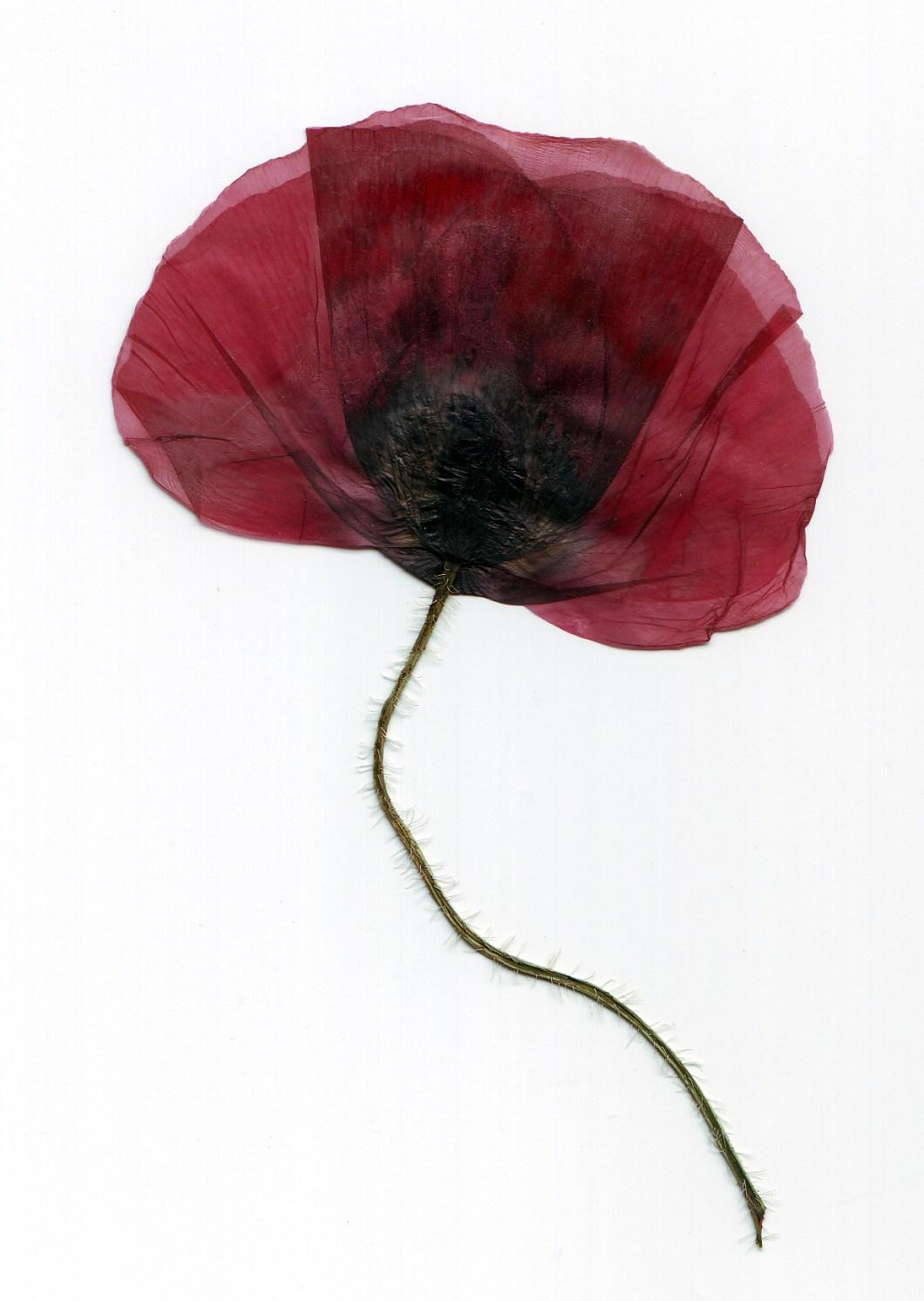 Foto gratis de una flor roja seca por el paso del tiempo