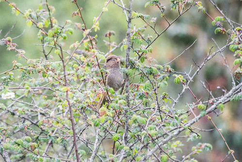 Brown Parrotbill
